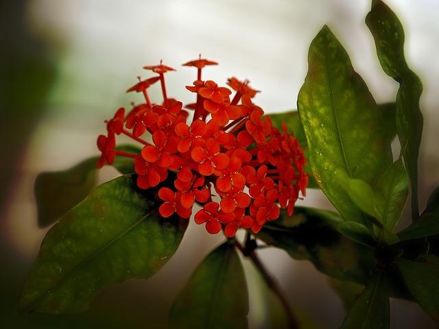 červená kytka